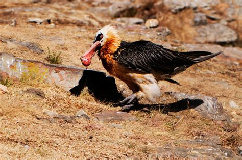 bearded vultures survive by eating only bones and it s freaky