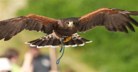 photog 233 nique birds of prey at grouse mountain british