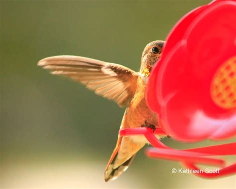 when do hummingbirds migrate 25 best ideas about hummingbird migration on pinterest hummingbirds humming birds and