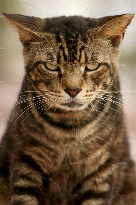 angry cat high quality animal stock  creative market