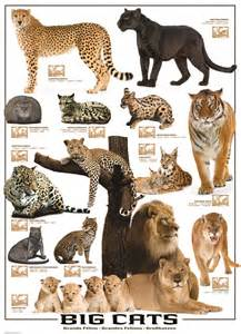 types of big cats eurographics big cats 1000 puzzle 13 species of the