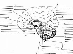 Parts Of The Brain Diagram Quiz   Biological Science