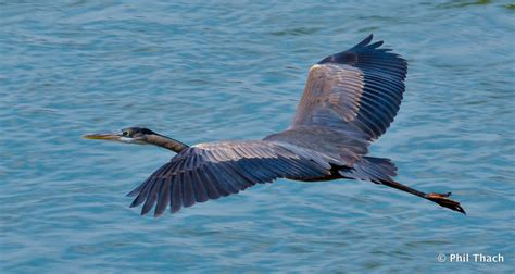 great blue heron in flight phil thach