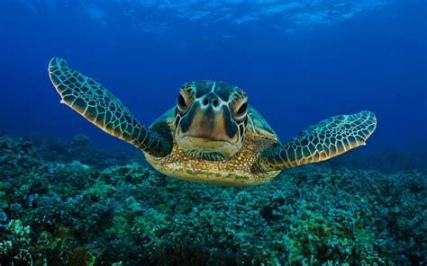 wallpaper hd sea turtle wallpaper