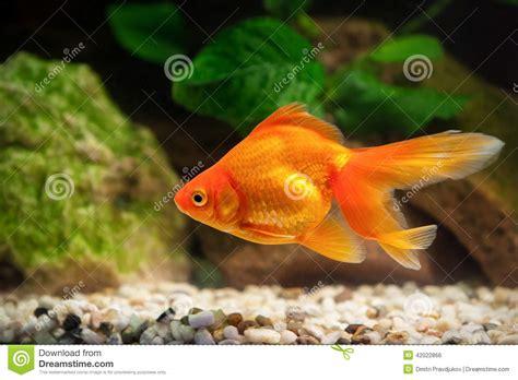 poisson dans l aquarium avec les plantes vertes et pierres photo stock image 42022866