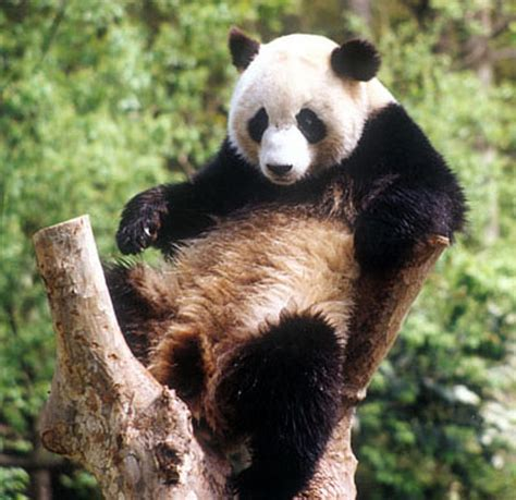 el panda gigante  su cria inseparables zoo aquarium