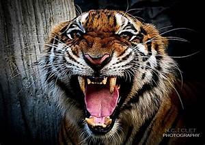 Tiger Roaring Face Black And White