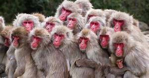 Japanese Monkeys Like To Socialize  Even With Nits To Pick