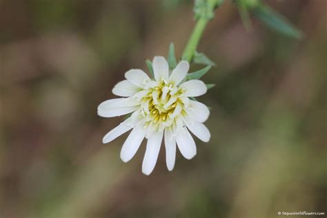 common california flowers top 28 common california flowers pictures of california wildflowers 67 best images about