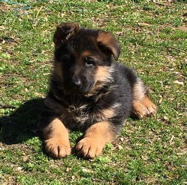 german shepherd dog puppy  sale  north bergen nj