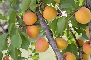 Comment Tailler Un Abricotier : abricotier planter et tailler ooreka ~ Melissatoandfro.com Idées de Décoration