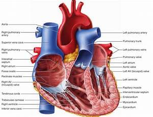 The Heart and Circulation | What Skin Wants?