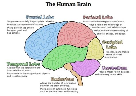 best 25 brain diagram ideas on diagram of the