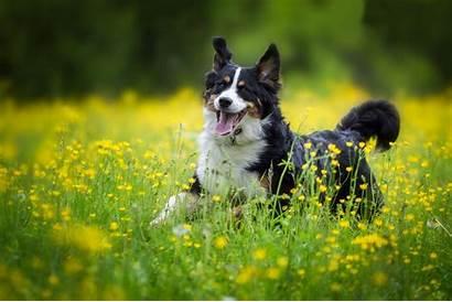 English Shepherd Dogs Dog Cheerful Breed Field