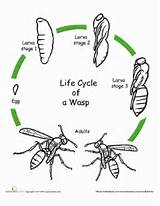 Wasp Life Cycle Pictures