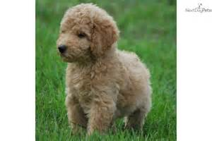 goldendoodle puppy for sale for 1 200 non shedding