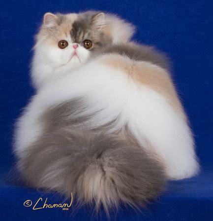 persian cat breeders fanciers breeder referral list