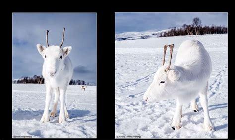 rare bebe renne blanc photographie en norvege