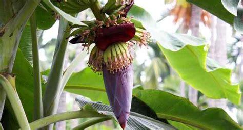health benefits  eating banana flowers thehealthsitecom
