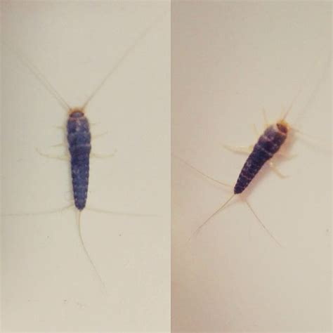 How To Get Rid Of Silverfish 14 Steps (with Pictures