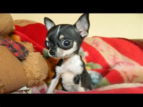 adorable teacup chihuahua  pomeranian dog fight youtube
