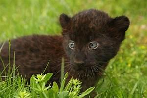 Newborn Panther Cubs Tierpark Berlin   Awww