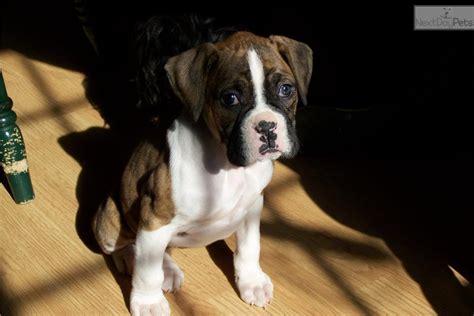meet fancy  cute boxer puppy  sale   akc