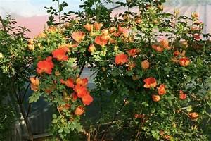 Wilde Triebe Rosen : rosa lutea bicolor rosenschule ruf ~ Lizthompson.info Haus und Dekorationen