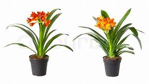 Two Blossoming Plants Of Klivia In