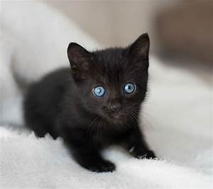 Cute Black Kitten With Blue Eyes | www.pixshark.com ...