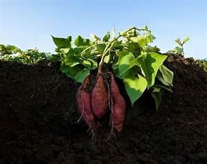 How To Grow Sweet Potatoes  U2013 Sweet Potato Planting Guide