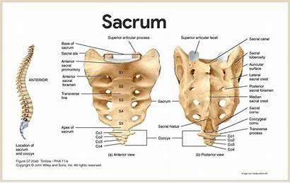 Anatomy Skeletal Bones System Physiology Sacrum Anatomia