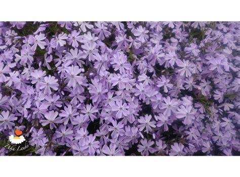 Latvijas stādi - Phlox subulata 'Emerald Cushion Blue ...