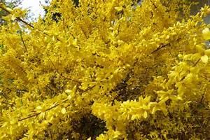 Frühblühende Sträucher Frühjahr : forsythie ~ Michelbontemps.com Haus und Dekorationen