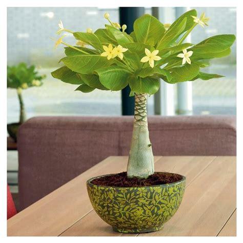 Zimmerpflanzen Sonniger Standort by Hawaii Palme Sonniger Standort P Plants