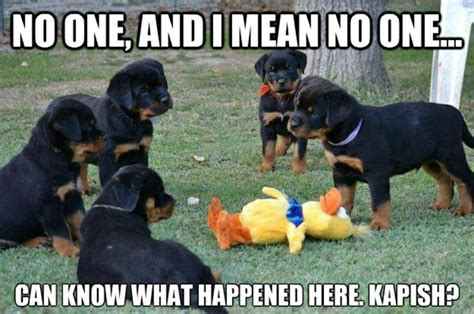 Rottweiler Memes - haha a little rottie love funny quotes pinterest love and haha