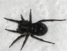 Black House Spider California