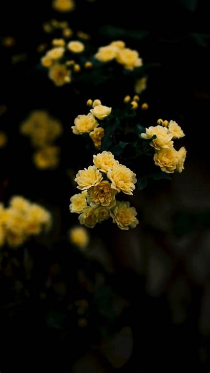 Iphone Yellow Rose Wallpapers Aesthetic Flower Roses