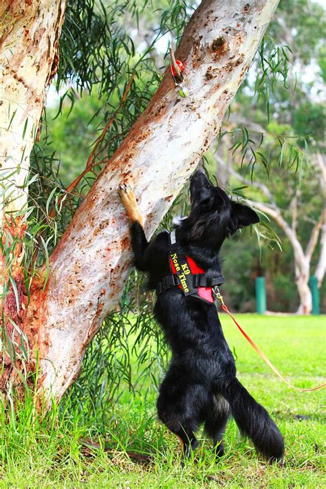 scent scramble   ballgame  dogs australian