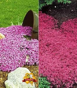 Bodendecker Statt Gras : bodendecker kollektion rosa und rot polsterstauden bei baldur garten ~ Sanjose-hotels-ca.com Haus und Dekorationen