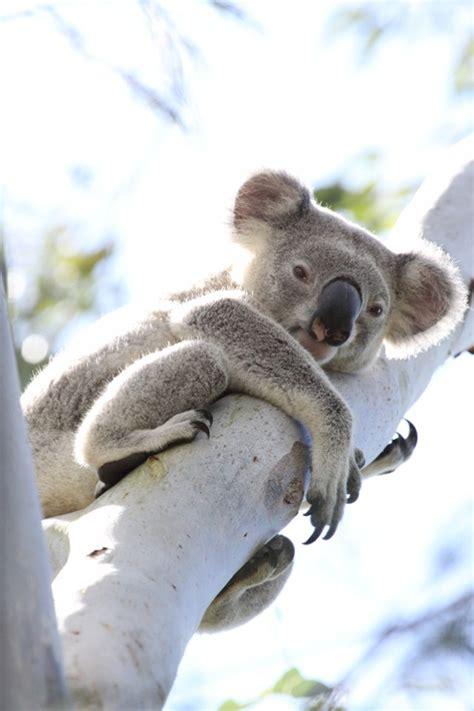 dessins en couleurs  imprimer koala numero