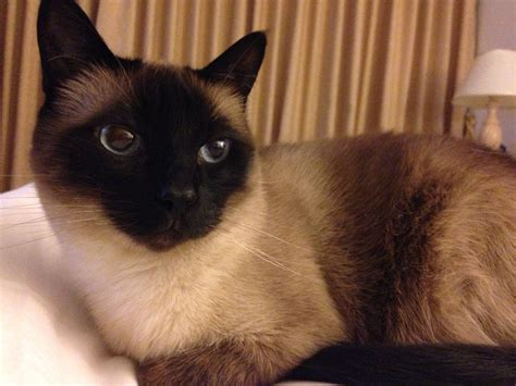 Siamese Cat Wikipedia
