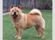 Chow Chow Dogs Latest Facts And Pictures All Wildlife
