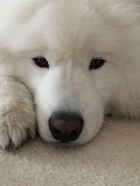 Samoyed So Sweet Samoyed Dogs Dogs Cute Dogs