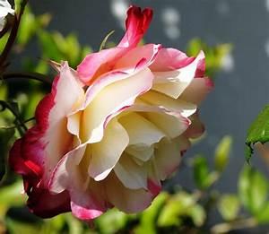 Flower: Fresh Beautiful Rose Flowers Bicolor Colors Petals ...