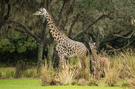 meet   disney princess amira  giraffe allearsnet