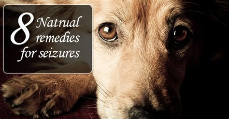 seizures in dogs 8 natural remedies for your dog s seizure