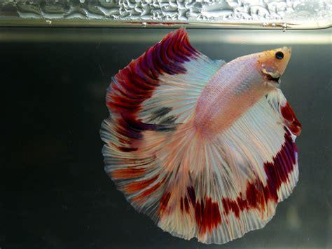 siamese fighting fish amazing pets august 2015