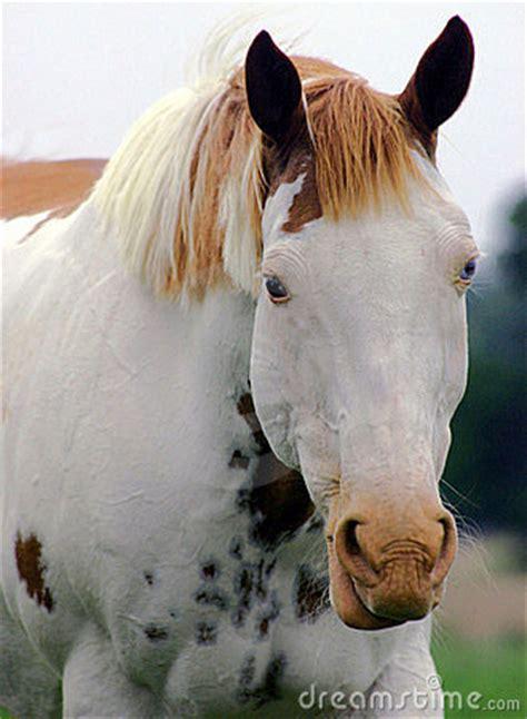 medicine hat paint horse stock photo image