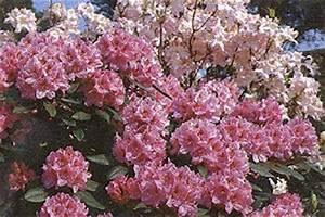 Blühende Sträucher Für Sonnigen Standort : rhododendron azaleen gr nfingers rostocks ~ Watch28wear.com Haus und Dekorationen
